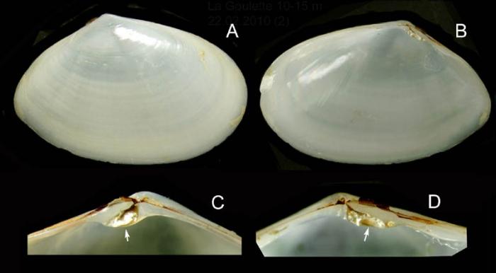 Abra alba (Wood W., 1802) Specimen from La Goulette, Tunisia (soft bottoms 10-15 m, 22.02.2010), actual size 10.3 mm.
