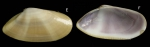 Donax venustus Poli, 1795Specimen from La Goulette, Tunisia (soft bottoms 3-4 m, 28.04.2009), actual size 20.5 mm.