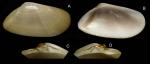 Donax semistriatus Poli, 1795 Specimen from La Goulette, Tunisia (soft bottoms 3-4 m, 28.04.2009), actual size 18.7 mm.