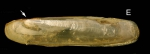 <i>Phaxas pellucidus</i> (Pennant 1777) </b>Specimen from La Goulette, Tunisia (soft bottoms 3-4 m, 18.08.2009), actual size 14 mm