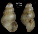 Setia kuiperi (Verduin, 1984)Specimen from Salakta, Tunisia, actual size 1.4 mm.