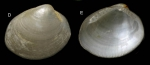 <i>Nucula nucleus</i> (Linnaeus, 1758)</b> Shell from La Goulette, Tunisia (0-1 m), actual size 3.4 mm.
