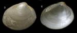 Nucula nucleus (Linnaeus, 1758) Shell from La Goulette, Tunisia (0-1 m), actual size 3.4 mm.