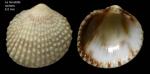 <i>Papillicardium papillosum</i> (Poli, 1795)</b>Specimen from La Goulette, Tunisia (among algae 0-1 m, 22.06.2008), actual size 6.0 mm