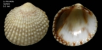 Papillicardium papillosum (Poli, 1795)Specimen from La Goulette, Tunisia (among algae 0-1 m, 22.06.2008), actual size 6.0 mm