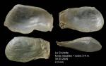 <i>Sphenia binghami</i> Turton, 1822</b>Specimen from La Goulette, Tunisia (3-4 m, 30.03.2009), actual size 4.3 mm