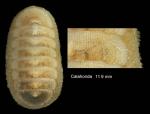 Leptochiton algesirensis (Capellini, 1859)Specimen from Calahonda, Málaga, Spain (actual size 11.9 mm).