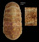Leptochiton scabridus (Jeffreys, 1880)Specimen from Chiclana, Spain (col. MNHN) (actual size 4.0 mm).
