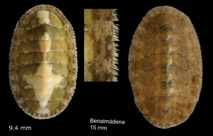 Lepidochitona cinerea (Linnaeus, 1767) Specimen from Benalmádena, Spain (actual size 9.4 and 15.0 mm).