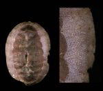 Callochiton septemvalvis (Montagu, 1803)Specimen from Isla de Alborán (actual size 20 mm).