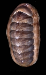 <i>Chaetopleura angulata</i> (Spengler, 1797)</b>Specimen from SW Spain (actual size 50 mm).