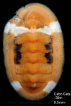 Chiton corallinus (Risso, 1826)Specimen from Cabo de Gata (-39 m), Spain (actual size 9.3 mm).