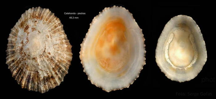 Patella ulyssiponensis Gmelin, 1791Specimens from Calahonda, Málaga, Spain (actual sizes 48.3 and 38.0 mm).