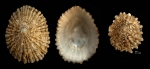<i>Patella ferruginea</i> Gmelin, 1791</b>Shells from Calahonda, Málaga, Spain (actual sizes 60 and 36.3 mm). This is a critically endangered species along the coast of mainland Spain.