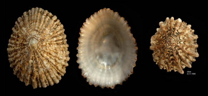Patella ferruginea Gmelin, 1791Shells from Calahonda, Málaga, Spain (actual sizes 60 and 36.3 mm). This is a critically endangered species along the coast of mainland Spain.