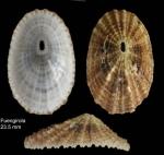 Diodora graeca (Linnaeus, 1758)Specimen from Benalmádena, Spain (actual size 14 mm).