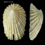 Emarginula octaviana Coen, 1939Specimen from Benzú, Ceuta, Strait of Gibraltar (actual size 11.5 mm).