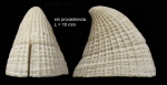 <i>Emarginula fissura</i> (Linnaeus, 1758)</b>Shell from southern Spain (actual size 10.0 mm).