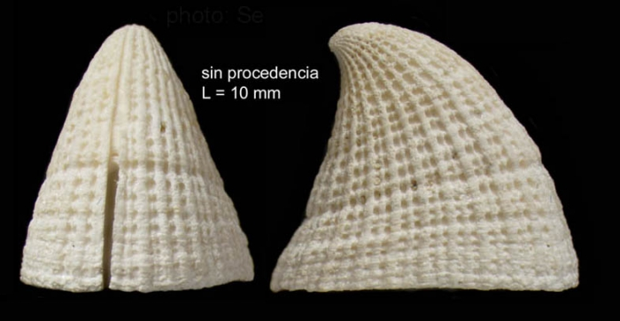 Emarginula fissura (Linnaeus, 1758)Shell from southern Spain (actual size 10.0 mm).