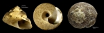 <i>Gibbula varia</i> (Linnaeus, 1758)</b>Specimens from Benalmádena, Spain (actual sizes 13.8 and 13.0 mm).