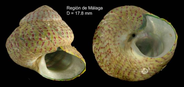 Gibbula divaricata (Linnaeus, 1758)Specimen from Málaga province, Spain (actual size 17.8 mm).