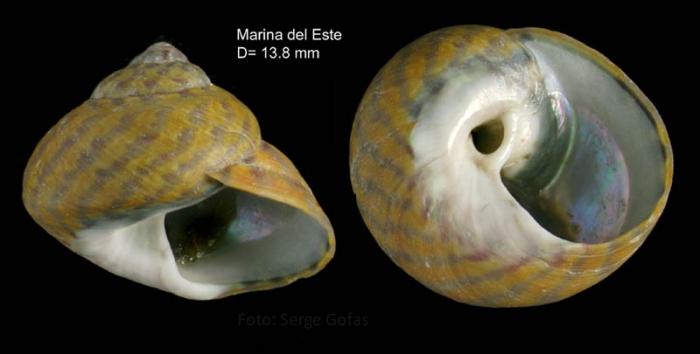 Phorcus richardi (Payraudeau, 1826)Specimen from Marina del Este, Granada, Spain (actual size 13.8 mm).