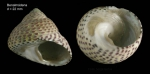 Osilinus turbinatus (Born, 1778) Specimen from Benalmádena, Spain (actual size 22 mm).