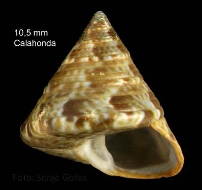 Calliostoma laugieri (Payraudeau, 1826) Specimen from Calahonda, Málaga, Spain (actual size 10.5 mm)