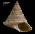<i>Calliostoma gubbiolii</i> Nofroni, 1984</b>Specimen from Praia da Luz, Portugal (actual size 14.5 mm).