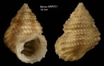 Danilia tinei (Calcara, 1839)Specimen from Benzú, Ceuta, Strait of Gibraltar  (actual size 10 mm)