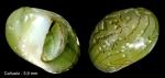 Smaragdia viridis (Linnaeus, 1758)Specimen from Cañuelo, Málaga, Spain (actual size 5.9 mm).