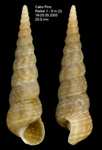 Mesalia varia (Kiener, 1843) Specimen from Cabo Pino (-5 m), Málaga, Spain (actual size 20.5 mm).