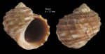 Littorina saxatilis (Olivi, 1792)Specimen from Benzú, Ceuta, Strait of Gibraltar (actual size 7.5 mm).