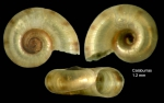 Skeneopsis planorbis (Fabricius O., 1780) Specimen from Calaburras, Mlaga, Spain (actual size 1.2 mm).