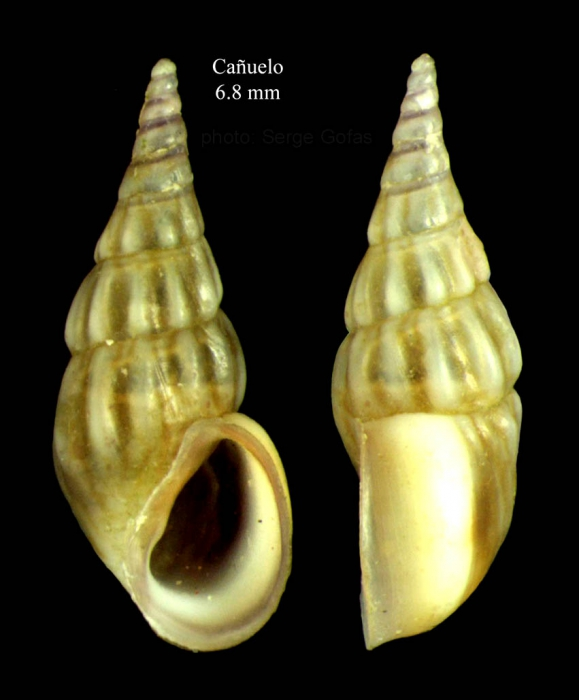 Rissoa membranacea (J. Adams, 1800) Specimen from Cañuelo, Málaga, Spain (actual size 6.8 mm).