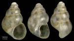 Setia anselmoi (van Aartsen & Engl, 1999)Specimen from Getares, Spain (actual size 1.4 mm).