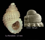 Alvania nestaresi Oliverio &amp; Amati, 1990Specimen from La Herradura, Granada, Spain (actual size 2.3 mm), and protoconch of another specimen, same locality.