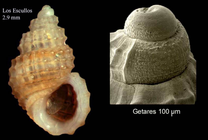 Alvania subcrenulata (Bucquoy, Dautzenberg & Dollfus, 1884)Specimen from Los Escullos, Almería, Spain (actual size 2.9 mm), and protoconch of another shell from Getares, Spain.