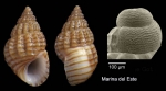 <i>Alvania lineata</i> Risso, 1826</b>Specimen from Marina del Este, Granada, Spain, Granada (actual size 4.3 mm), and protoconch, same locality.