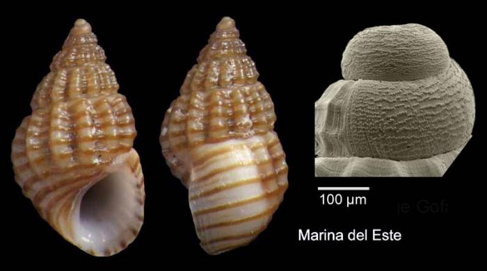 Alvania lineata Risso, 1826Specimen from Marina del Este, Granada, Spain, Granada (actual size 4.3 mm), and protoconch, same locality.