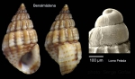 Alvania montagui (Payraudeau, 1826)Specimen from Benalmdena, Spain (actual size 4.5 mm), and protoconch of a specimen from Cabo de Gata, Spain.
