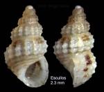 Alvania scabra (Philippi, 1844)Specimen from Los Escullos, Almería, Spain (actual size 2.3 mm).