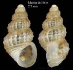 Alvania sculptilis (Monterosato, 1877) Specimen from Marina del Este, Granada, Spain, Granada (actual size 2.2 mm).