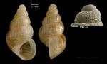 Alvania vermaasi van Aartsen, 1975Specimen from Barbate, Spain (actual size 2.1 mm), and protoconch of a shell from Xauen bank (170 m), Alboran sea.