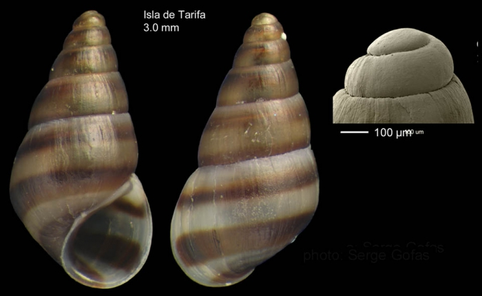 Cingula trifasciata (J. Adams, 1800)Specimen from Isla de Tarifa, Spain (actual size 3.0 mm), and protoconch.