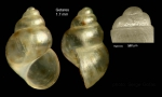 Crisilla aartseni (Verduin, 1984)Specimen from Getares, Spain (actual size 1.7 mm), and protoconch of a shell from Algeciras, Spain.