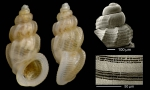 Manzonia crassa (Kanmacher, 1798)Specimen from Benalmdena, Spain (actual size 3.0 mm), microsculpture of a specimen from Calahonda, Mlaga, Spain, and protoconch of a shell from Denia, Valencia, Spain.