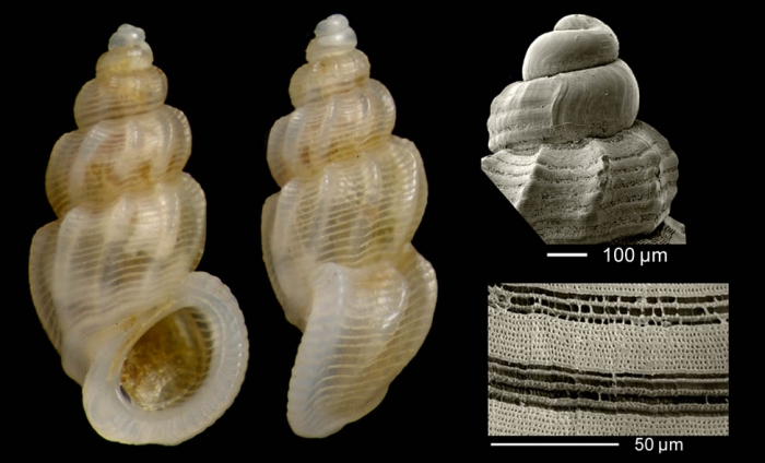 Manzonia crassa (Kanmacher, 1798)Specimen from Benalmádena, Spain (actual size 3.0 mm), microsculpture of a specimen from Calahonda, Málaga, Spain, and protoconch of a shell from Denia, Valencia, Spain.