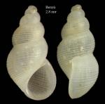 Onoba josae Moolenbeek & Hoenselaar, 1987Shell from Benzú, Ceuta, Strait of Gibraltar, Ceuta (actual size 2.8 mm).