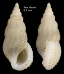 Rissoina bruguieri (Payraudeau, 1826)Specimen from Illes Medes, Gerona, Spain (actual size 6.3 mm)